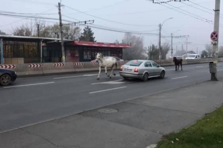 Cai surprinși galopând în trafic la Cluj. Au ajuns de la IRA până în Piața Mărăști FOTO