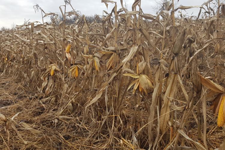 Clujenii au ajuns să nu mai culeagă porumbul de pe câmp! Nu mai rentează agricultura? - VIDEO