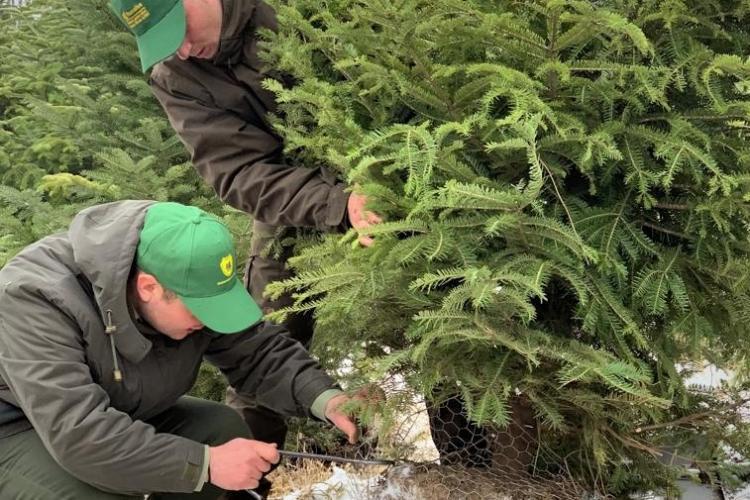 Romsilva scoate la vânzare peste 42.000 de pomi de Crăciun. La ce preț se vând și de unde pot fi cumpărați
