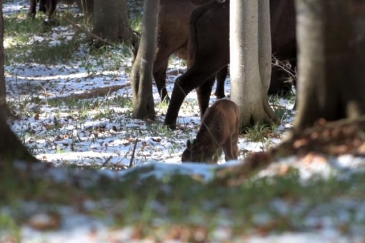 Primul pui de zimbru născut în Munții Făgăraș. E o premieră - VIDEO