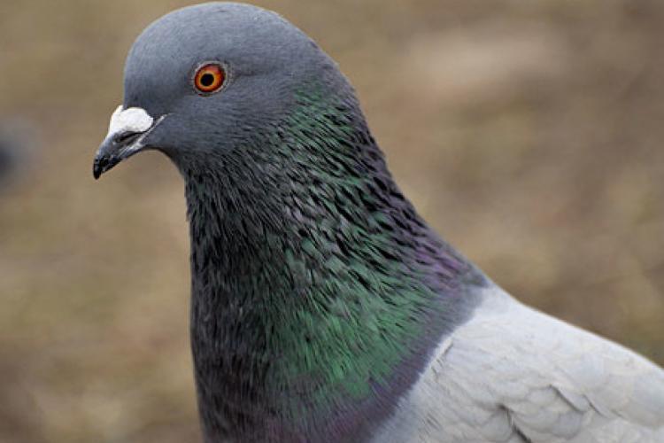Un porumbel a supraviețuit unei călătorii extraordinare de 13.000 de kilometri! Acum, autoritățile din Australia, vor să-l OMOARE
