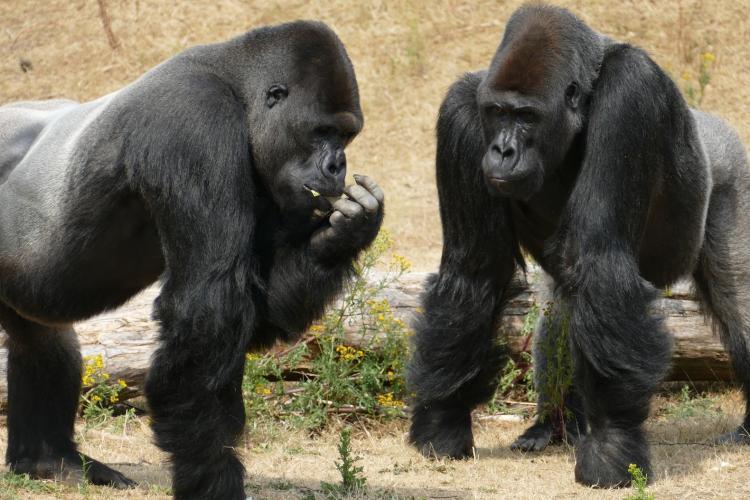 Două gorile de la o grădină zoologică, testate pozitiv cu noul coronavirus