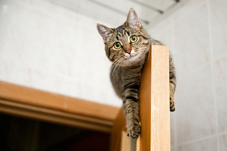 De ce stau pisicile pe dulap, ușă sau alte obiecte înalte