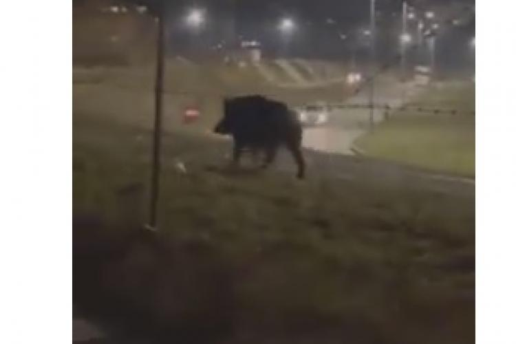 Un porc mistreț a terorizat floreștenii din zona VIVO! Poliția locală e în alertă - VIDEO