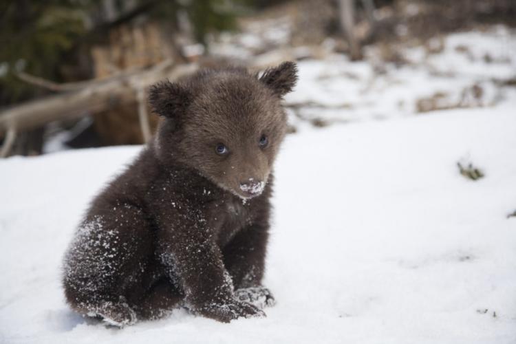 Atât i-a dus mintea! Trei muncitori din Neamț au scos din bârlog 4 pui de urs și i-au aruncat în zăpadă -VIDEO