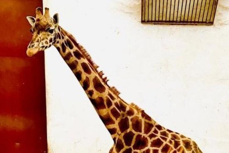 Cum a murit singura girafă care exista în grădinile zoologice din România?