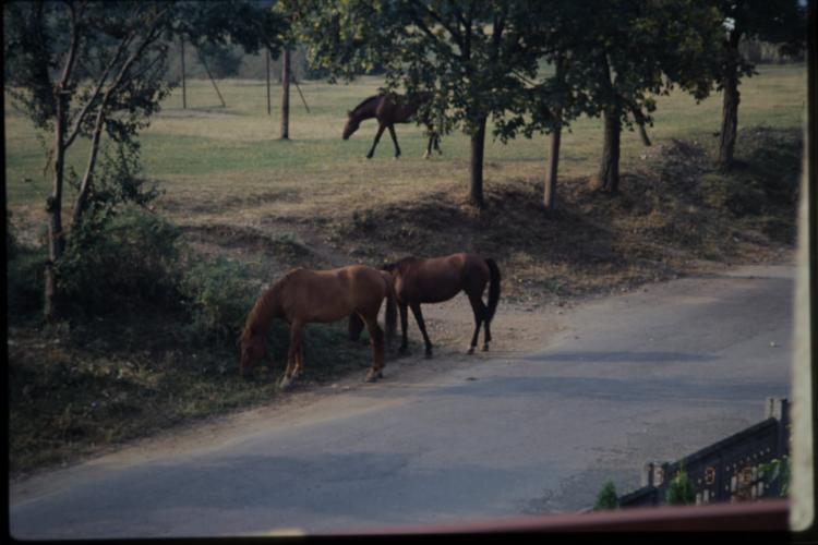 Imagini extraordinare de pe Cetățuie, din 1991. Vacile pășteau în actualul parc din apropiere de hotel - FOTO