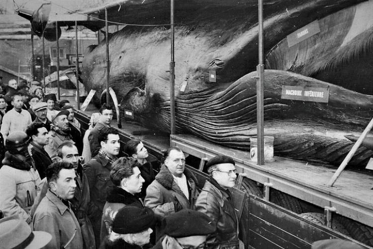 Balena Goliat a fost expusă și la Cluj în 1964. Evenimentul a marcat o generație: A fost în Piața Mihai Viteazu, într-un cort - FOTO