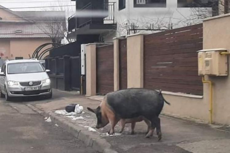 Clujul e oraș pet friendly! Porci liberi pe o stradă din Cluj-Napoca - FOTO