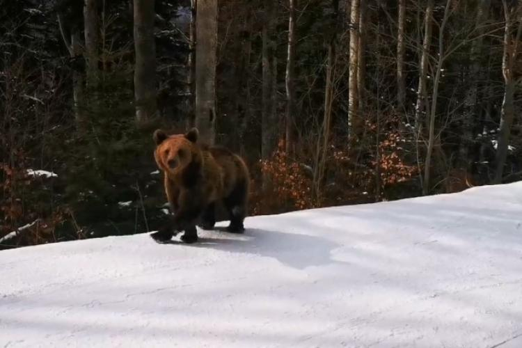 Un urs a fugărit un schior la Predeal! Acesta a făcut un gest eroic și s-a lăsat urmărit de urs - VIDEO