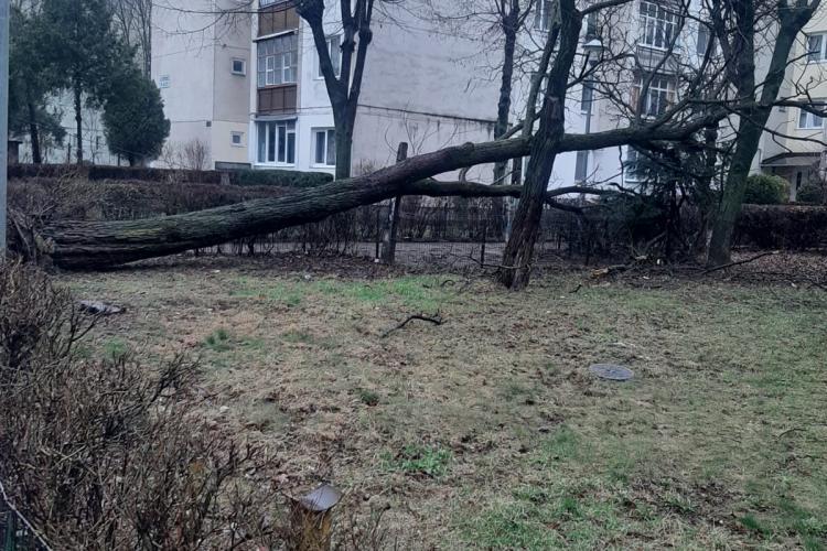 Copac căzut între străzile Fântânele și Paul Ioan. Nu e nevoie de toaletare? - FOTO