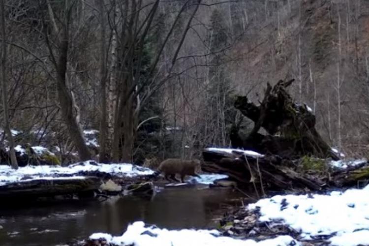 Pisică sălbatică rară, surprinsă într-o pădure din Munții Apuseni - VIDEO