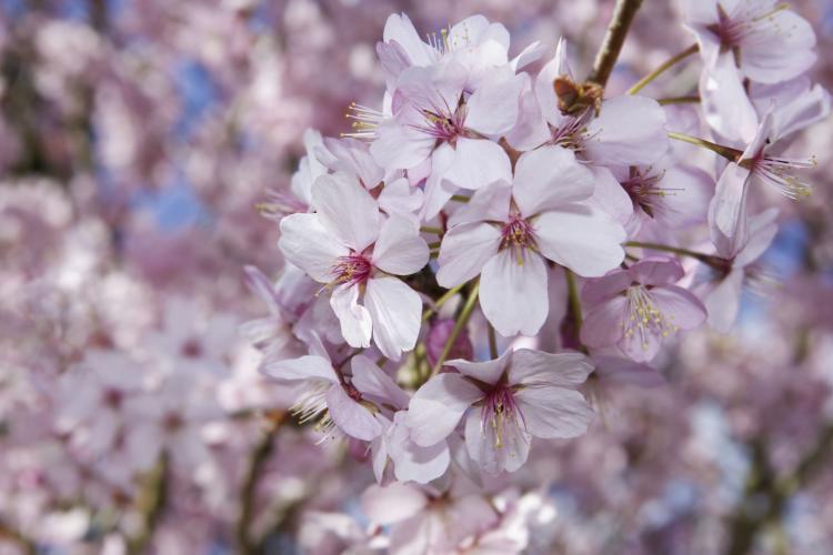 Florii 2021. Când pică, anul acesta, Duminica Floriilor