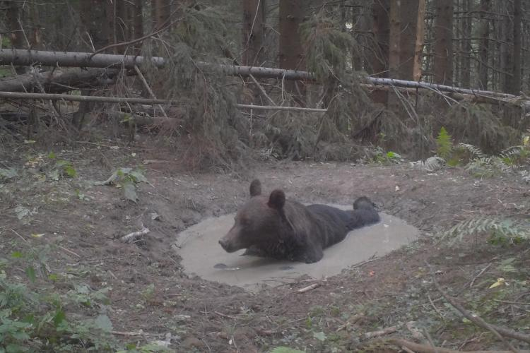 """""""Piscina"""" din Parcul Național Ceahlău folosită la maximul de animalele sălbatice - VIDEO și FOTO"""
