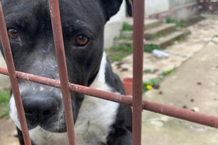 Câini din rasa Amstaff găsiți fără hrană și apă de aproape o săptămână - FOTO