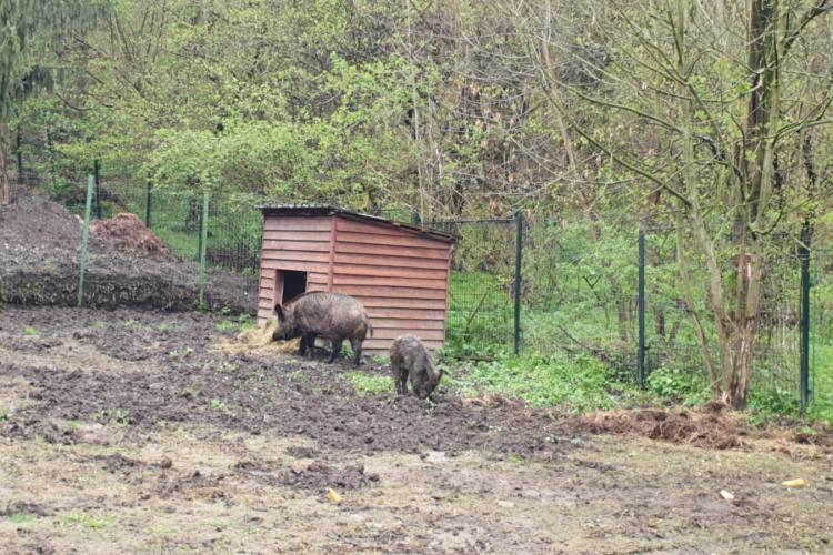 Mistreți torturați și abuzați! Tânăr din Hunedoara reținut, după ce își antrena câinii de vânătoare pe bietele animale - VIDEO