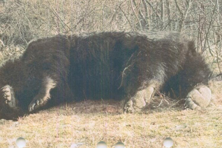 Arthur, cel mai mare urs din România, ucis de un prinț din Austria