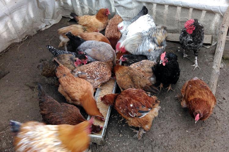 Gripa aviară se extinde. Autoritățile încearcă să afle unde au ajuns păsări din județul Mureș