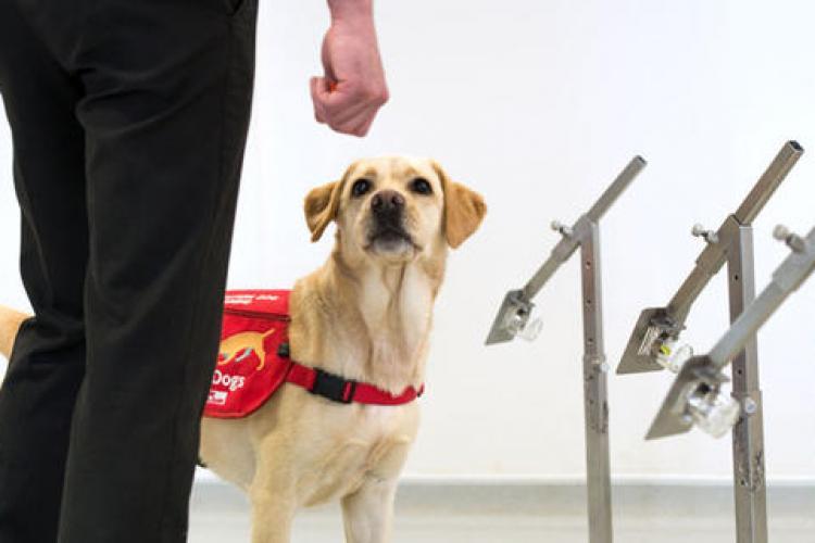 Câinii pot detecta persoanele infectate cu COVID după mirosul specific, cu o precizie de aproape 100%