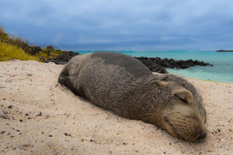 Pentru că în România nu sunt probleme, cercetătorii USAMV studiază 3 luni leii de mare din Arhipeleagul Galapagos