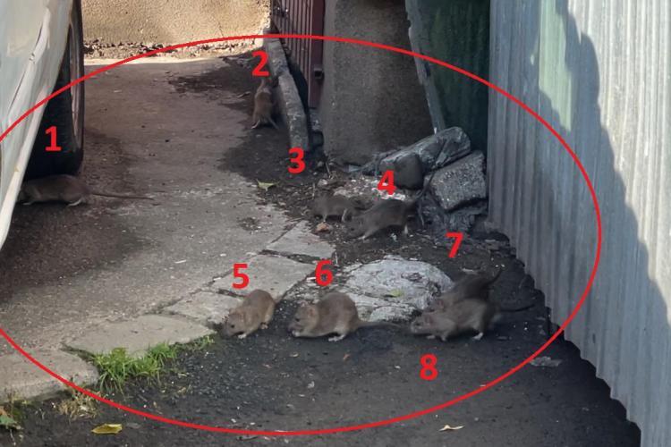 Invazie de șobolani în Mărăști în Clujul de cinci stele, ca în Munchen, Viena sau Milano - VIDEO