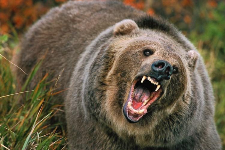 Copil de 8 ani, atacat de urs într-un sat din Covasna. Primarul: Din fericire nu e grav