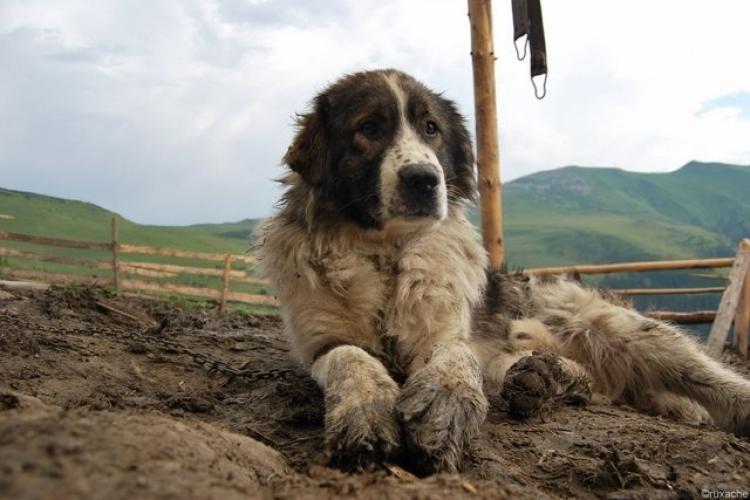 Drama unor câini din satul Vultureni. Cel care îi hrănește: Ăștia nu sunt țărani. Ceva s-a modificat! Lumea mă ceartă că îi hrănesc