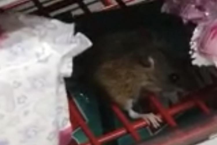 Șoarece filmat la Auchan Cluj. Mânca ciocolata - VIDEO