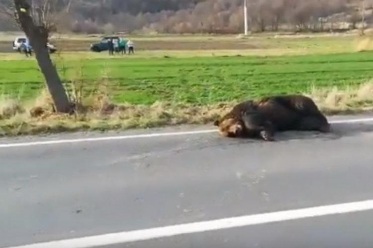 Cluj: Un urs a fost lovit de mașină și lăsat să moară pe Valea Ierii