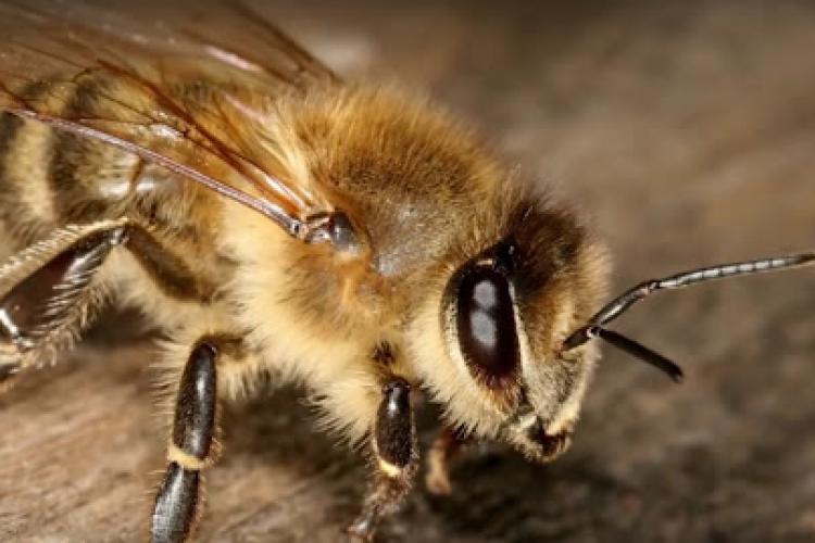 A murit după ce a fost înţepat de o albină