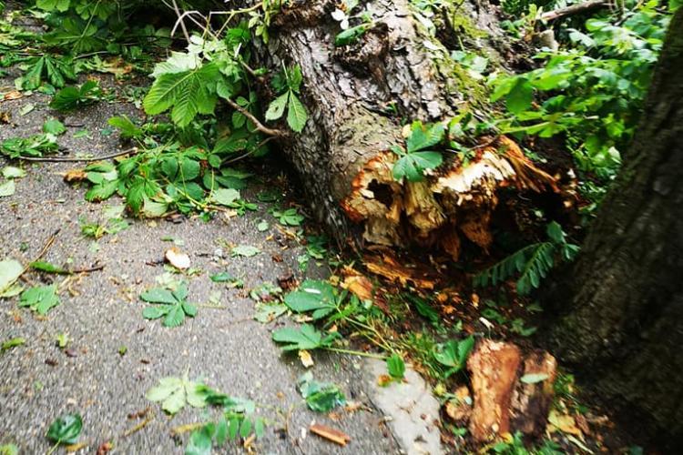 Copaci rupți de furtuna de duminică și în Parcul Central. Trebuie toaletați și verificați cei bătrâni - FOTO