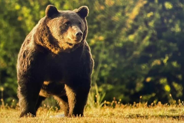 """Primarii din Covasna și Harghita spun că urșii s-au modificat genetic: """"Ursul nu mai este urs"""