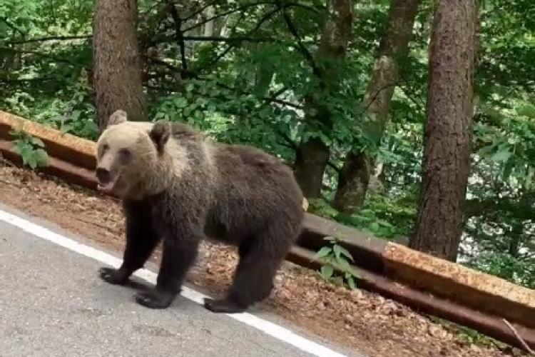 O turistă care hrănea un urs din zona Transfăgărăşanului a fost amendată