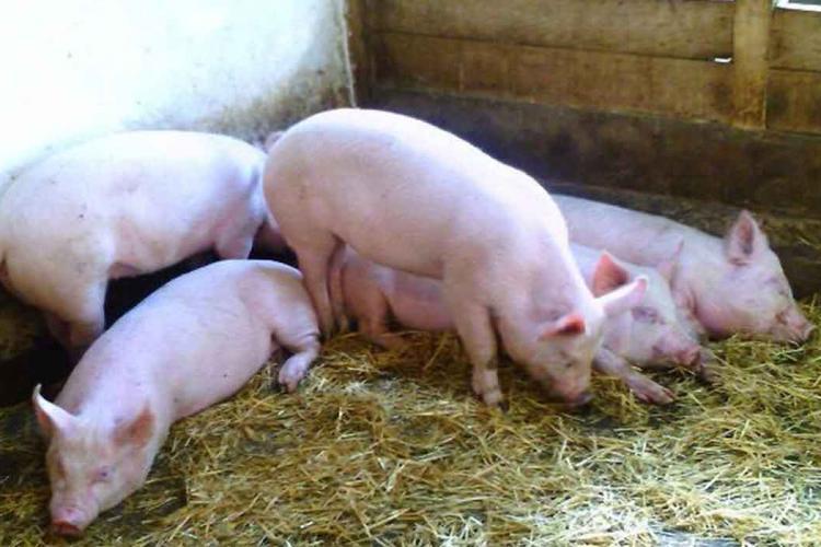 Reguli noi pentru crescătorii de porci. Nu mai pot da la animale resturi alimentare și trebuie să aibă încălțăminte dezinfectată