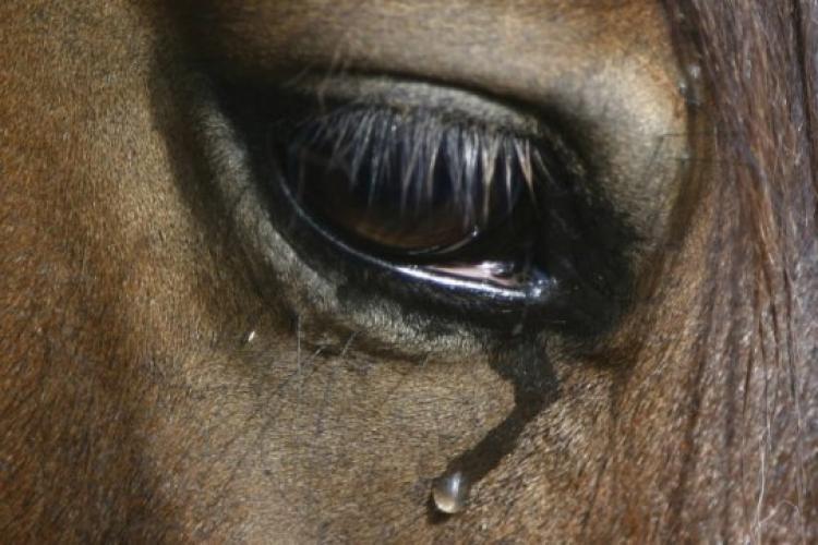 Un bărbat a fost reținut după ce a înjunghiat un cal în piept. Animalului i-a fost curmată suferința prin eutanasiere
