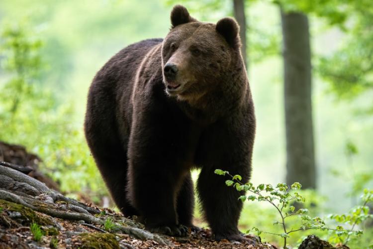 Guvernul încearcă din nou să numere urșii. Vor fi achiziționate garduri electrice pentru fermieri