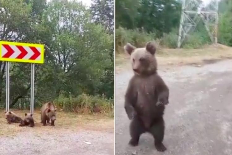 """Diana Șoșoacă, live pe Facebook cu o ursoaică și doi pui, pe Transfăgărășan: """"Poate ar fi nevoie de ei prin Parlament și Guvern"""