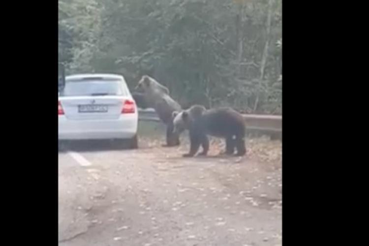 O femeie a fost atacată de un urs pe care încerca să-l fotografieze pe Transfăgărășan - VIDEO