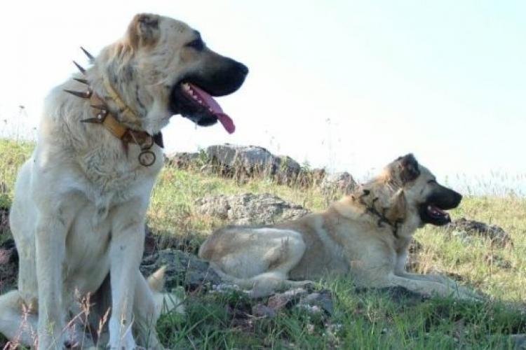Turiștii străini evită să parcurgă munții din România, din cauza câinilor de stână, care reprezintă un pericol