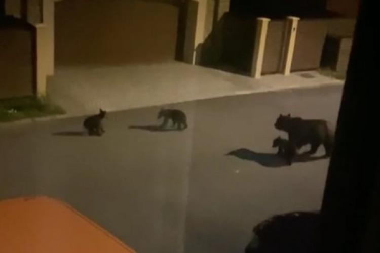 Primăria Braşov a coordonat prima operaţiune de capturare şi relocare a unui exemplar de urs. Au fost prinși o ursoaică cu trei pui