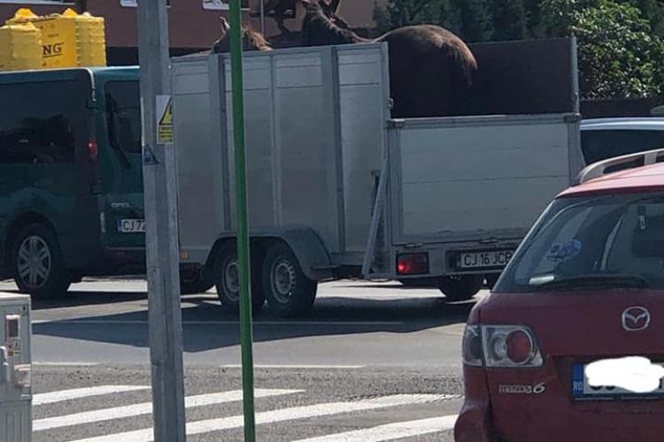 """Alți doi cai nesupravegheați au fost ridicați de pe stradă, în Florești: """"Domeniul public nu este grajd"""" - FOTO"""