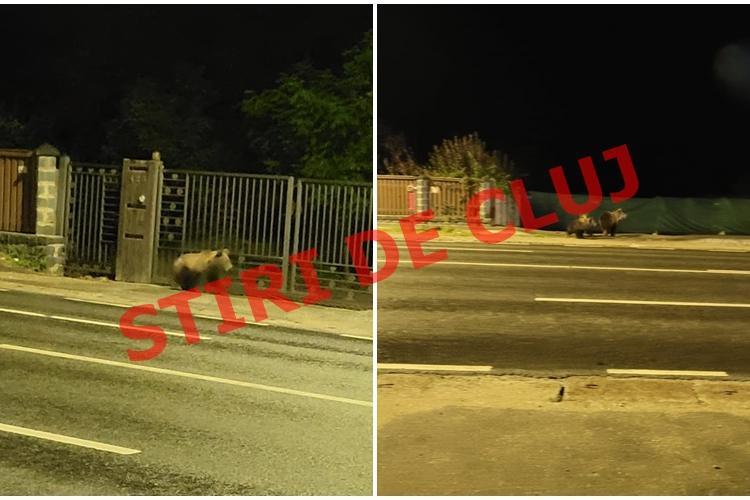 Jandarmii spun că urșii din Florești nu au mai fost văzuți la verificarea în teren - FOTO