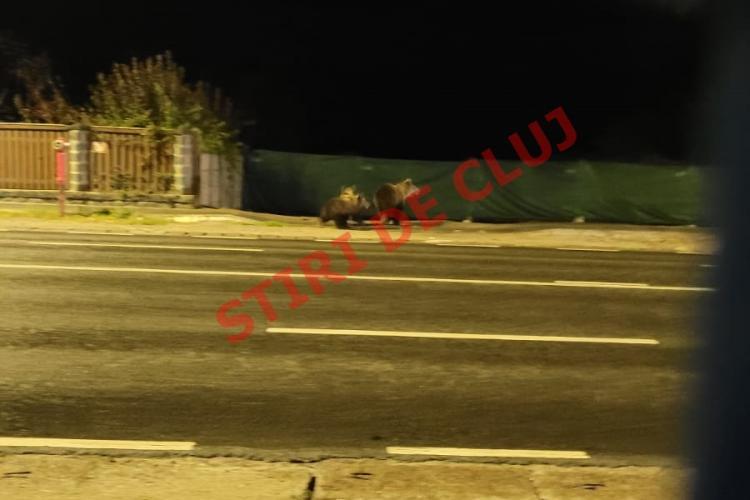 Urși (ursoaică și doi pui) depistați în Florești, pe DN1. Veneau dinspre Cluj-Napoca - FOTO EXCLUSIV