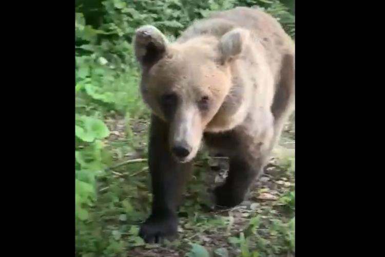 Urs văzut într-o comună din Cluj. Un localnic s-a luptat să își salveze animalele
