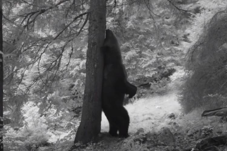 """Ursul """"Baloo de Carpaţi"""" filmat în Parcul Național Piatra Craiului - VIDEO"""