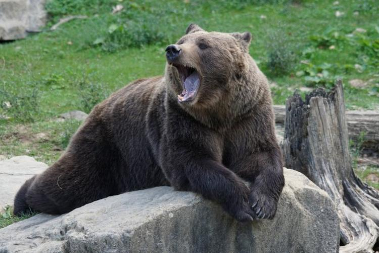 De ce apar urșii din Munții Apuseni în zona Gilău – Florești – Cluj-Napoca?