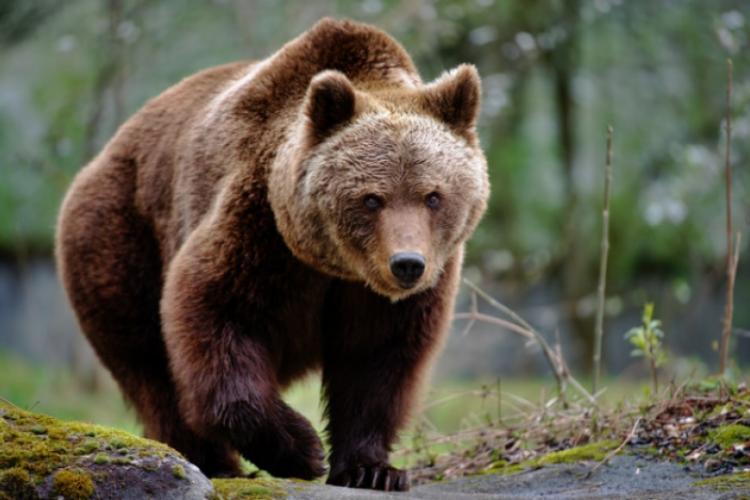 Problema urșilor continuă. Un bărbat a fost rănit grav de un urs pe câmp