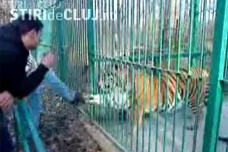 Un barbat din Sibiu a fost atacat de un tigru. Piciorul tanarului a fost sfartecat - VIDEO