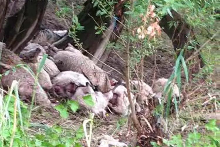 Un barbat a fost traznit in comuna Cetan impreuna cu oile pe care le ingrijea - VIDEO - Imagini socante
