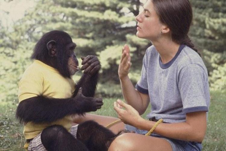 Proiectul Nim, un documentar despre un experiment real: au incercat sa invete un cimpanzeu sa vorbeasca - VIDEO